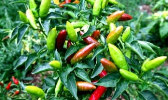 edible-chili-peppers