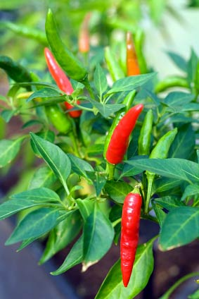 edible-chiles