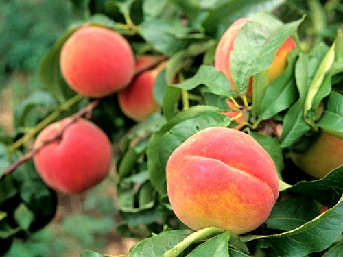 edible-peaches