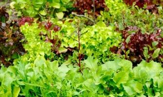 edible-lettuces