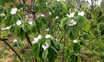 edible-quince-tree